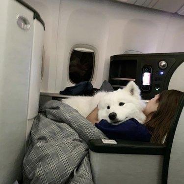 samoyed dog in plane seat