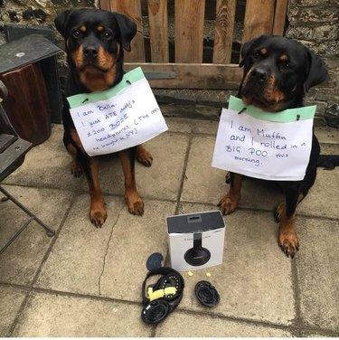 guilty dogs eat headphones