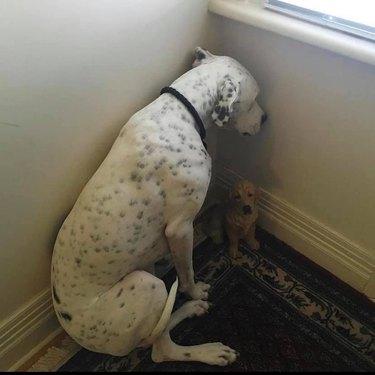 dog hides in corner