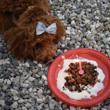 dog with birthday kibble