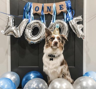 aussie dog surrounded by balloons