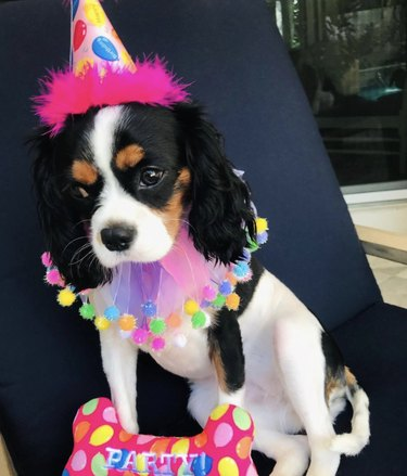 dog dressed up in party clothes
