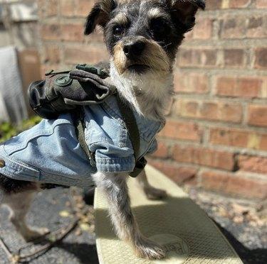 dog in denim shirt on skateboard