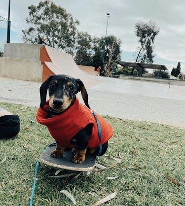 dachshund in red vest on skateboard