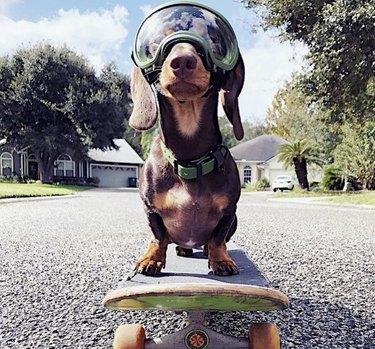 dachshund on skateboard