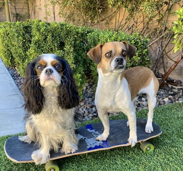 two dogs on skateboard