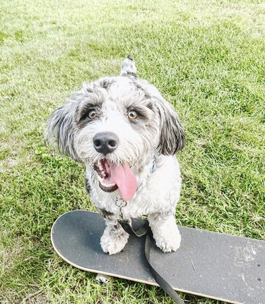 dog with tongue out on skateboard