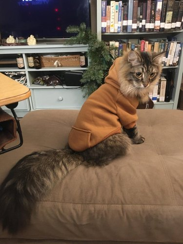 Cat with fluffy tail wearing hoodie