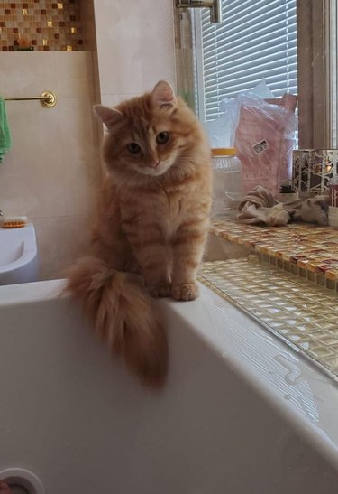 Cat with fluffy tail sitting by side of bathtub