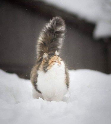 Cat with fluffy tail walking through snow