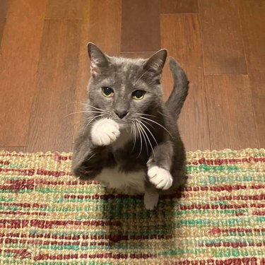 cat looks like he's ready for fistfight