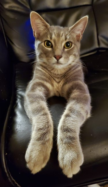 cat extends paws forward