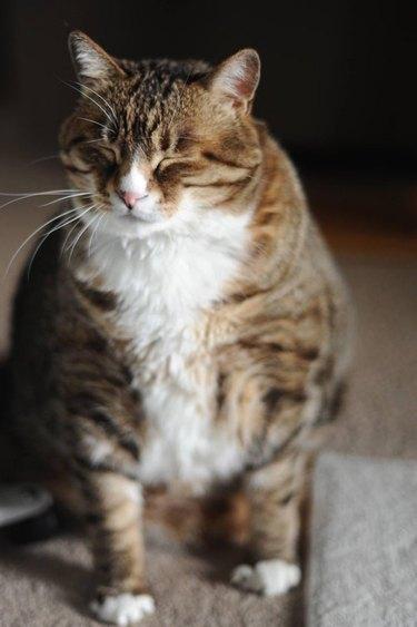 Large cat looking sleepy
