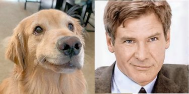 dog looks like Harrison Ford
