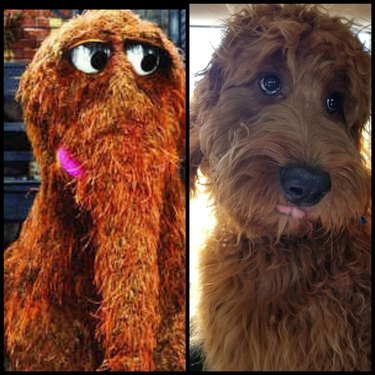 dog looks like Snuffleupagus
