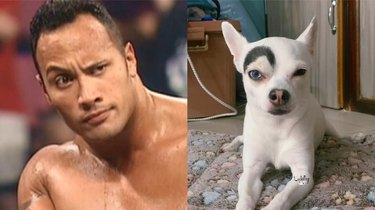 dog looks like Dwayne The Rock Johnson