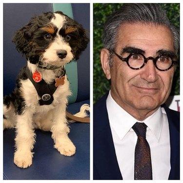 dog looks like Eugene Levy