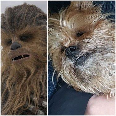 dog looks like Chewbacca