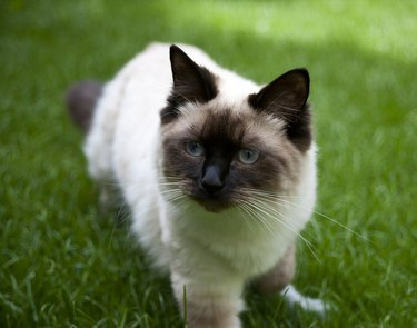 Ragdoll cat outdoors on grass