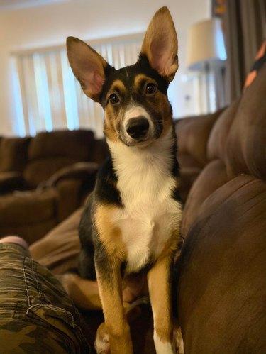 Dog with big ears.