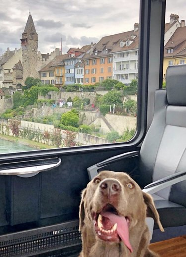dog with tongue out on train