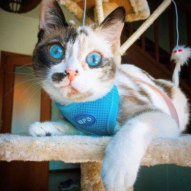 cat with ocean blue eyes