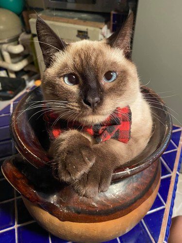 cat wearing bowtie and sitting in pot