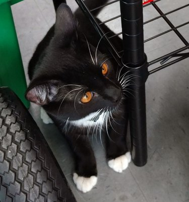 tuxedo cat with cooper colored eyes