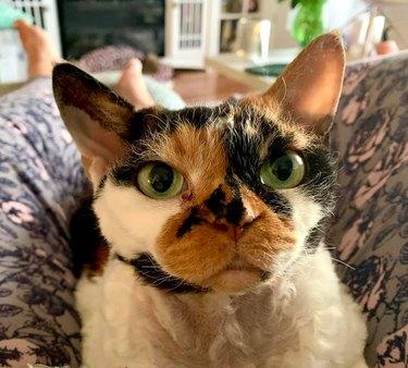 devon rex cat with green eyes
