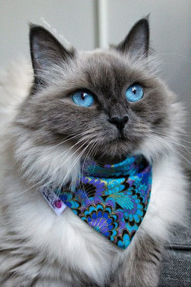 himalyan cat with blue eyes