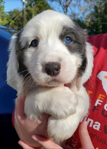 puppy with bright blue eyes