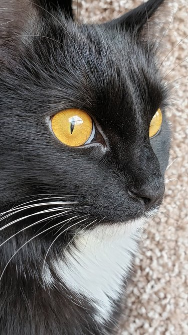 tuxeo cat with gold colored eyes