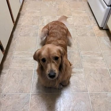 Golden retriever lying on kitchen floor with paws tucked underneath itself