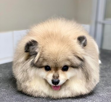 Small, fluffy dog with paws tucked underneath itself