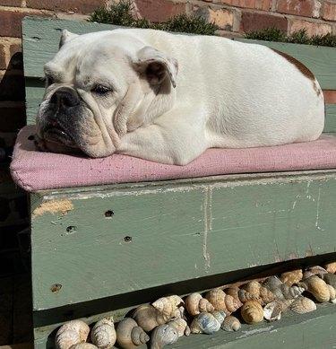 bulldog laying on outdoor bench