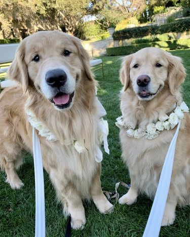 two golden retrievers with flower necklaces