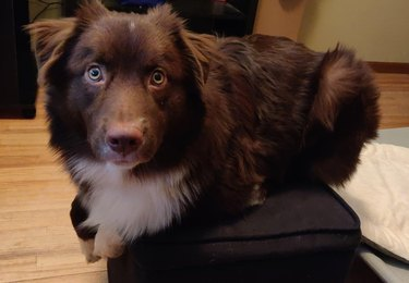 Fluffy brown dog sitting with paws tucked underneath itself