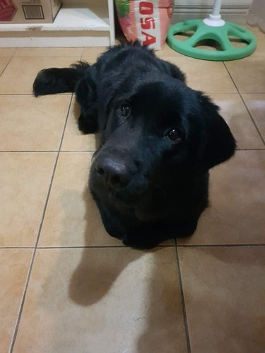 Black Labrador looking hopeful, laying with paws tucked underneath itself