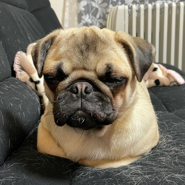 Pug on couch covered in dog hair