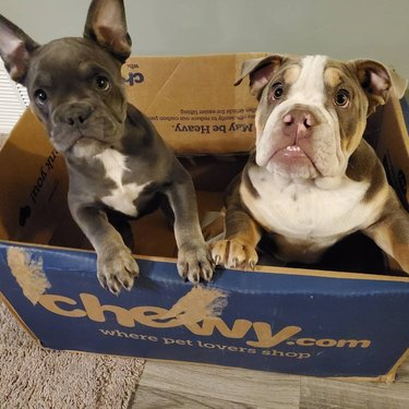 two french bulldogs in box