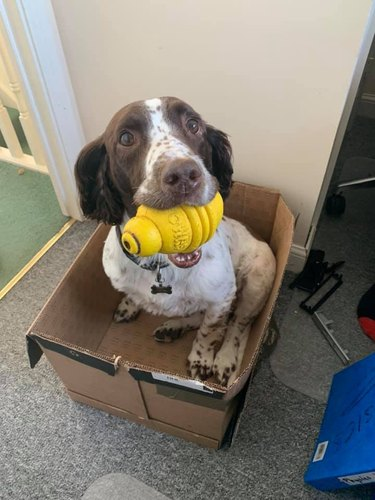 dog in box with toy