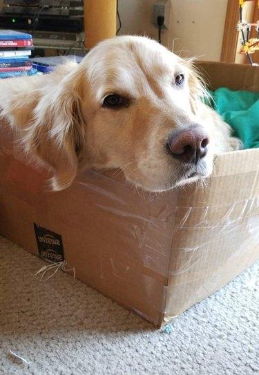 dog rests head on corner of box