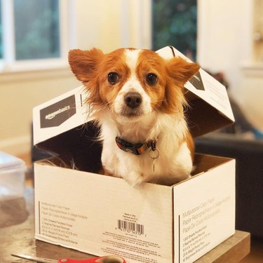 dog pokes head out of box