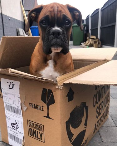 boxer dog in a box