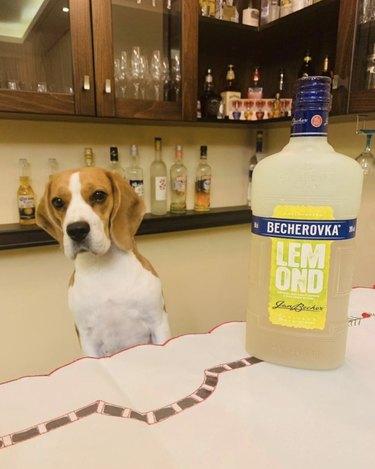 dog standing by lemonade vodka