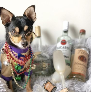 dog with Bacardi and tequila