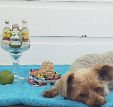 dog serving tequila