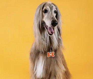 A happy Afghan hound on an orange background with an orange bone dog ID tag