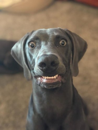 Weimaraner with its bottom teeth showing