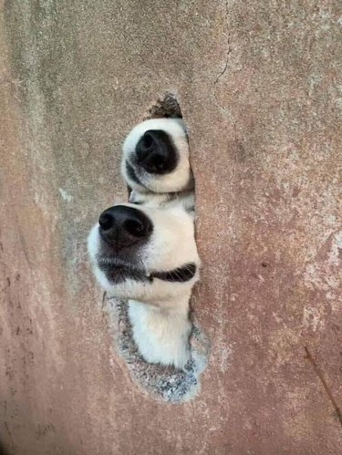 Hole in concrete wall with two dog's snouts sticking out of it
